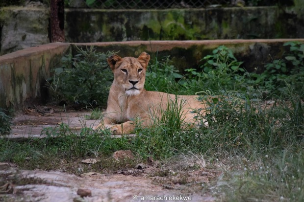 lionness-agodi-park